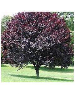 Newport Cherry Plum