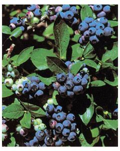 North Country Blueberries