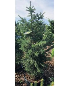 North Pole White Spruce