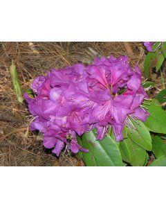 Northern Starburst Rhododendro