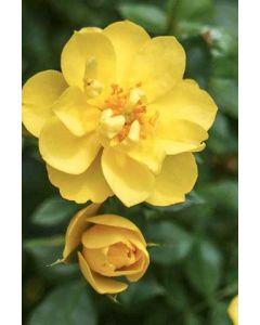 Shrub Rose Oso Easy Lemon Z