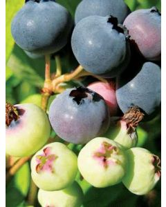 Patriot Blueberries