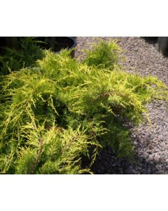 Paul's Gold Juniper