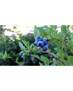 Peach Sorbet Blueberry