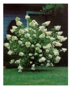 Peegee Hydrangea