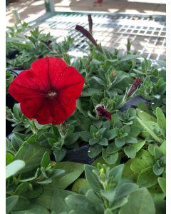 Petunia Flat Red