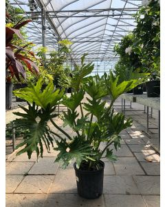 Philodendron Hope 10""
