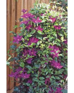 Picardy Boulevard Clematis