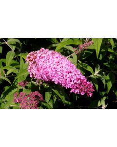 Pink Delight Butterfly Bush