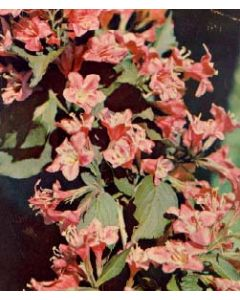 Pink Princess Weigela Std