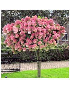 Pinky Winky Hydrangea Standard