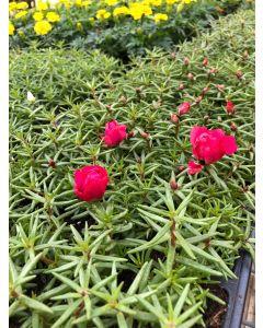 Portulaca Plumberry
