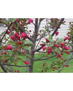 Prarie Fire Crabapple