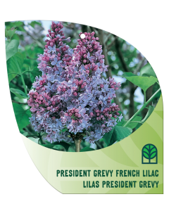 French Lilac President Grevy