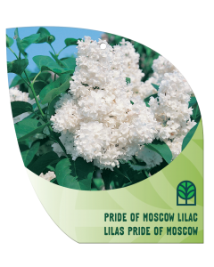 Pride of Moscow Lilac