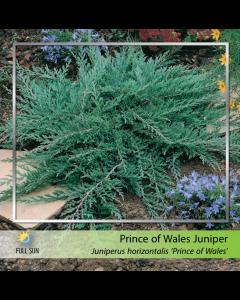 Prince of Wales Juniper