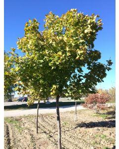 Princeton Gold Maple