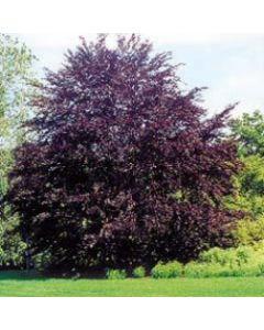 Purple Beech