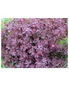 Purple-Leaf Jap. Honeysuckle