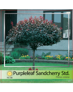 Purpleleaf Sandcherry Std