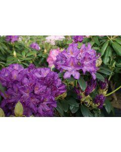 Purpureum Elegans Rhododendron