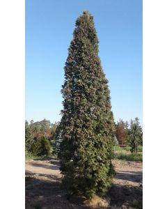 Pyramid Cedar (ONT)