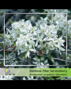 Rainbow Pillar Serviceberry
