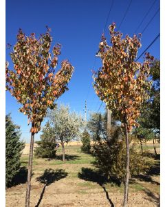 Rancho Sargent Cherry