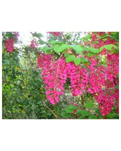 Red Flowering Currant