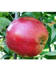 Red Gravenstein Apple