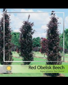 Red Obelisk Beech
