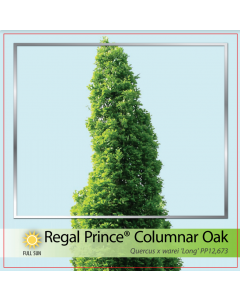 Regal Prince Oak