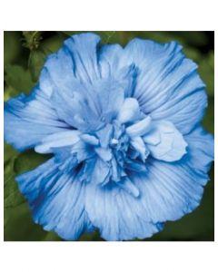Rose of Sharon Blue Chiffon