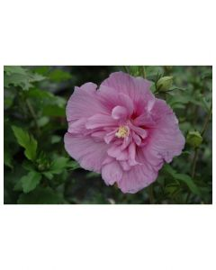 Rose of Sharon Lavende Chiffon