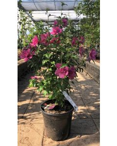 Rose of Sharon Lucy