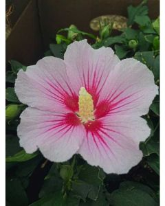 Rose of Sharon Orchid Satin