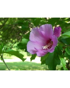 Rose Of Sharon Rubis