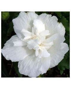 Rose of Sharon White Chiffon