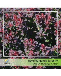 Royal Burgundy Barberry