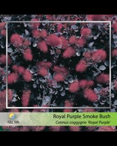 Royal Purple Smokebush