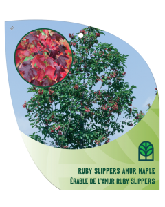 Ruby Slippers Amur Maple