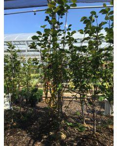San Jose Magnolia 35mm