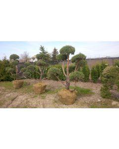 Scots Pine Pom Pom