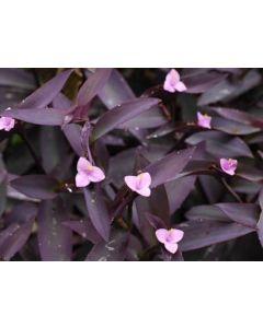 Setcresia Purple