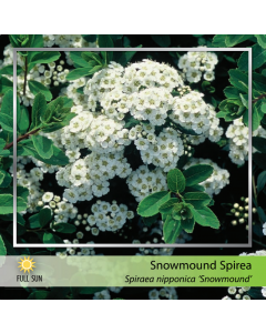 Snowmound Spirea