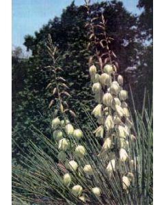 Spanish Bayonet Yucca