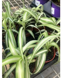 "2.5"" Spider Plant"