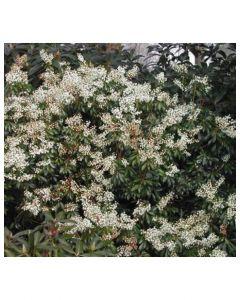 Spring Snow Japanese Pieris