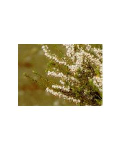 SpringWood Spring Heath