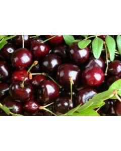 Stella Sweet Cherry Tree